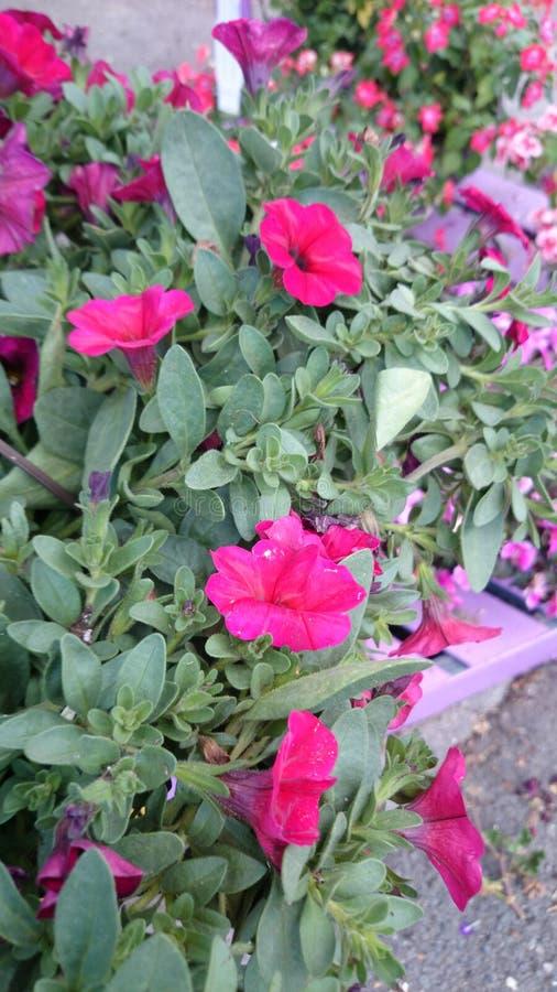 Cereza de Petchoa Supercal (petunia de Calibrachoa X) fotografía de archivo libre de regalías