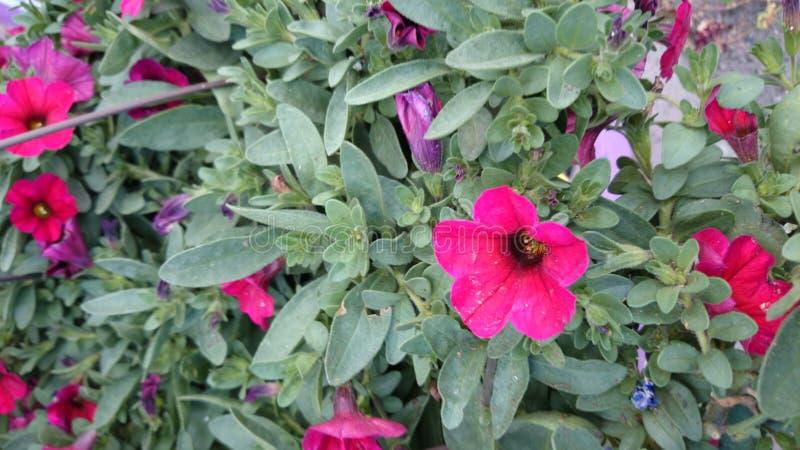 Cereza de Petchoa Supercal (petunia de Calibrachoa X) fotos de archivo