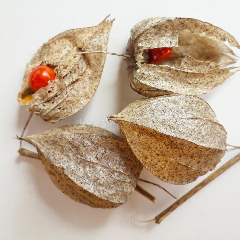 Cereza de vejiga com?n de Alkekengi del Physalis chino de las linternas de Wilko, linterna china, cereza de tierra de la fresa, c imagen de archivo