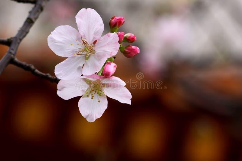 Cereza de Yoshino imagen de archivo