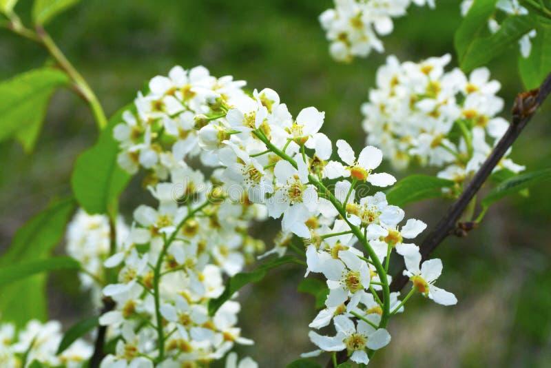 Cereza del árbol de florecimiento, manzana en primavera Las flores del ?rbol se cierran para arriba imagen de archivo