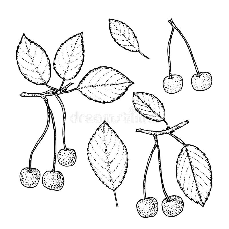 Cereza dibujada mano fijada en fondo del vintage Ejemplo retro de la comida del eco del vector del estilo del bosquejo libre illustration