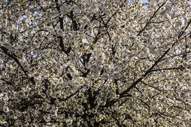 Cereza durante el tiempo de primavera imagen de archivo