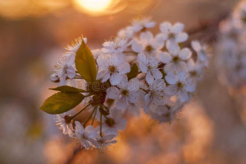 Cereza en la puesta del sol fotos de archivo