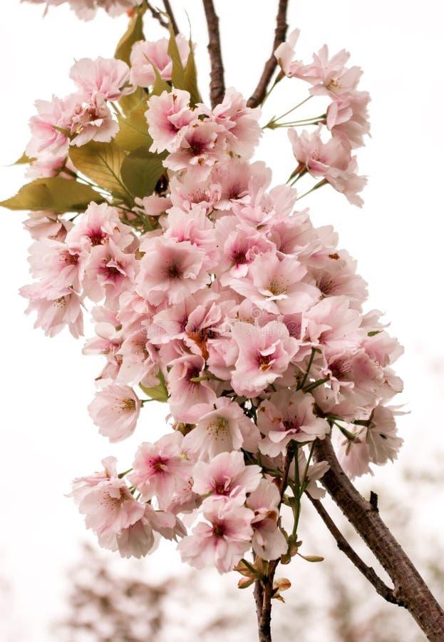 Cereza floreciente de la rama en un fondo blanco fotografía de archivo