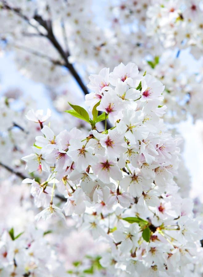 Cereza floreciente de Yoshino imagenes de archivo