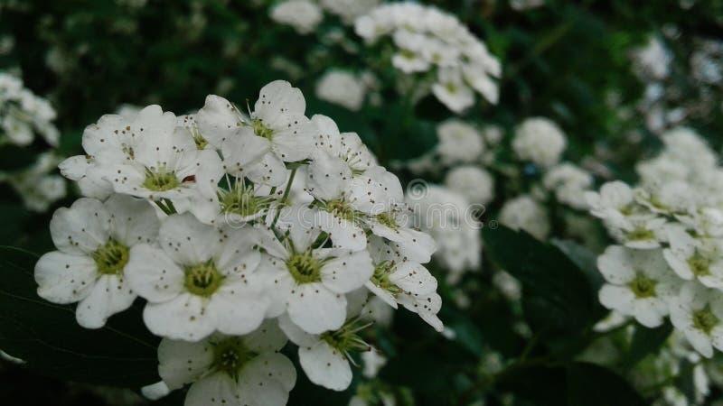 Cereza floreciente Flores encantadoras por la tarde imágenes de archivo libres de regalías