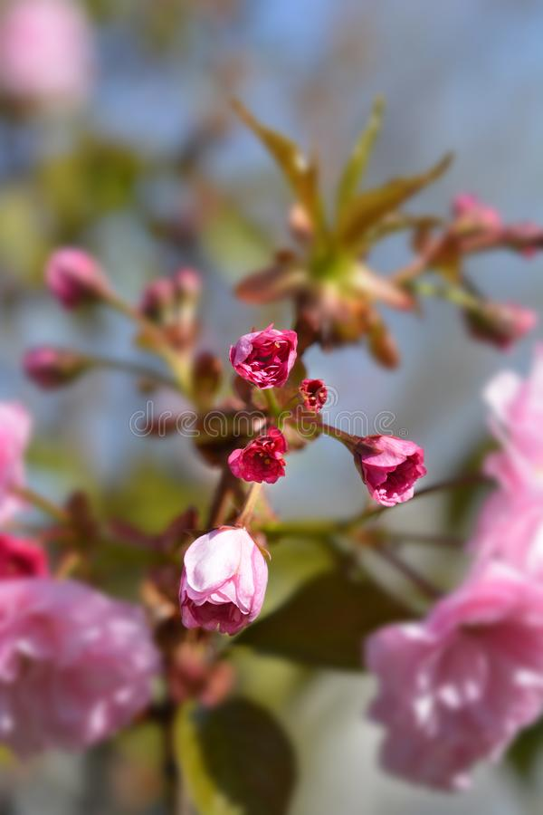 Cereza floreciente japonesa Kanzan foto de archivo libre de regalías