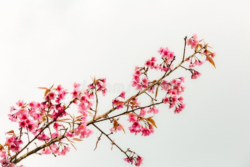 Cereza Himalayan salvaje (cerasoides) del Prunus (Sakura en Tailandia imágenes de archivo libres de regalías