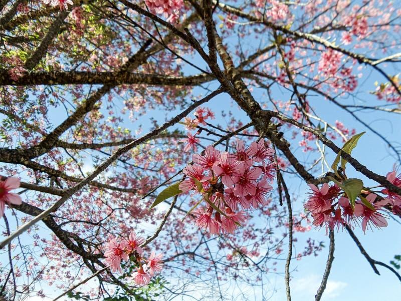 Cereza Himalayan salvaje rosada floreciente debajo del cielo azul imagenes de archivo
