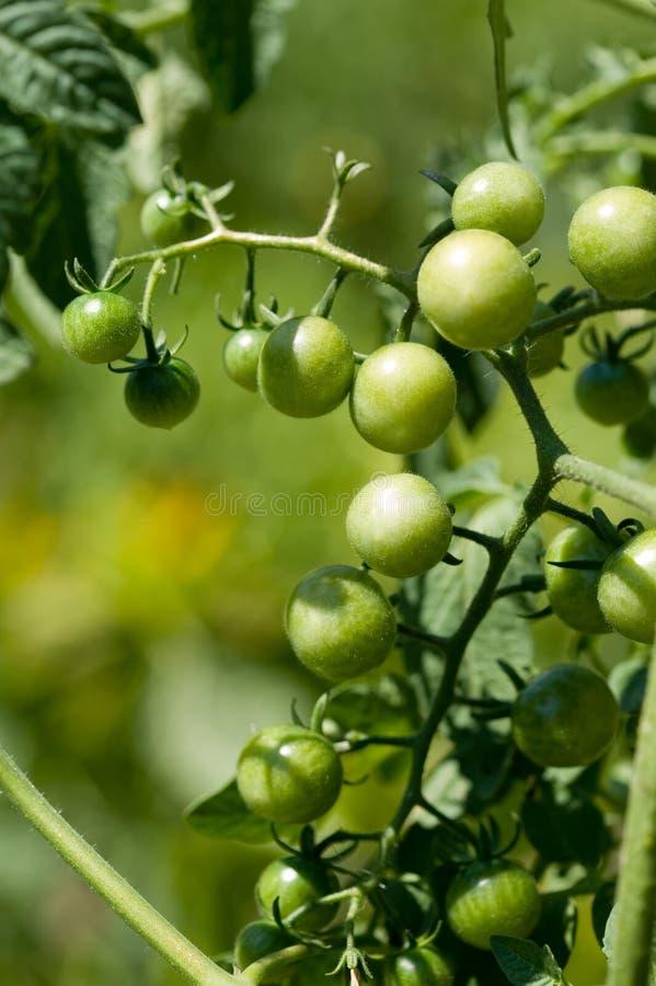 Cereza-tomates verdes fotos de archivo libres de regalías