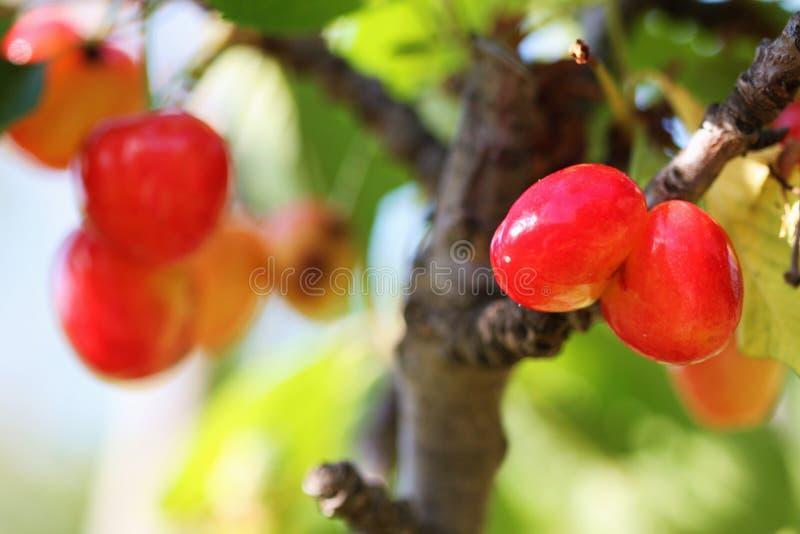 Download Cerezas imagen de archivo. Imagen de planta, cereza, campo - 42440937