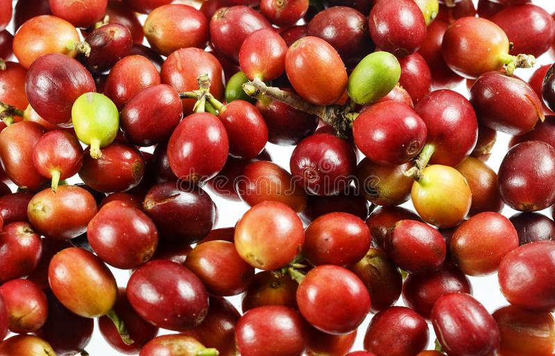 Cerezas del café o bayas de café imagen de archivo libre de regalías