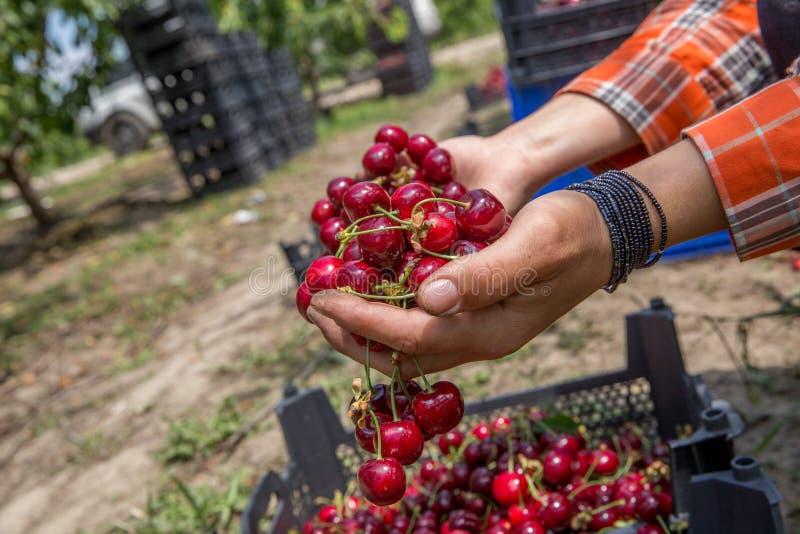 Cerezas del primer en cajón en las manos femeninas Cultivando un huerto, agricultura, concepto de la cosecha Manos que sostienen  fotografía de archivo libre de regalías