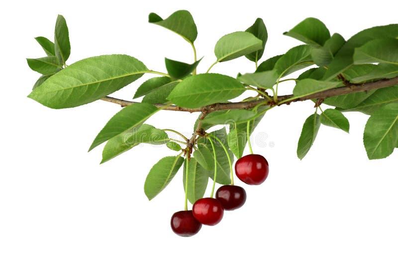 Cerezas deliciosas en una rama Productos orgánicos vitami natural fotografía de archivo libre de regalías