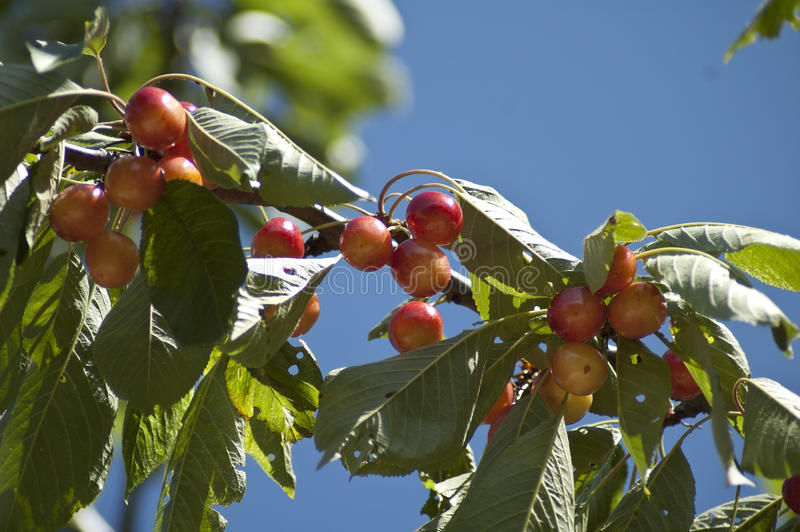 Cerezas en un árbol foto de archivo libre de regalías