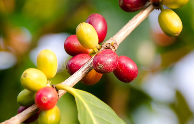 Cerezas maduras del café, Kona imagen de archivo