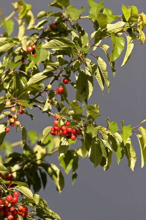 Cerezas maduras que cuelgan en un árbol imagen de archivo