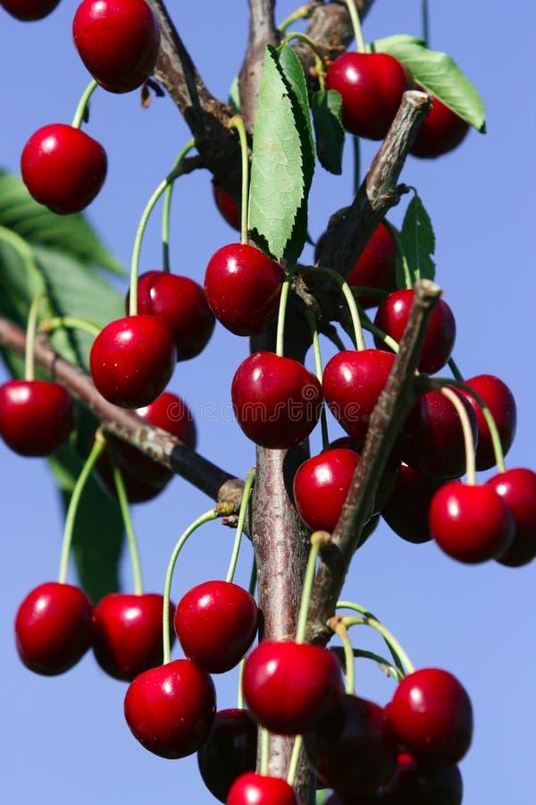 Cerezas rojas maduras fotografía de archivo libre de regalías