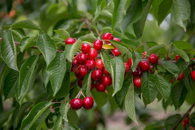 Cerezas rojas y dulces en una rama momentos antes de la cosecha en comienzo del verano imagen de archivo libre de regalías
