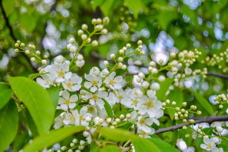 Cerezo del p?jaro en flor Primer de un árbol con las pequeñas flores blancas fotos de archivo libres de regalías