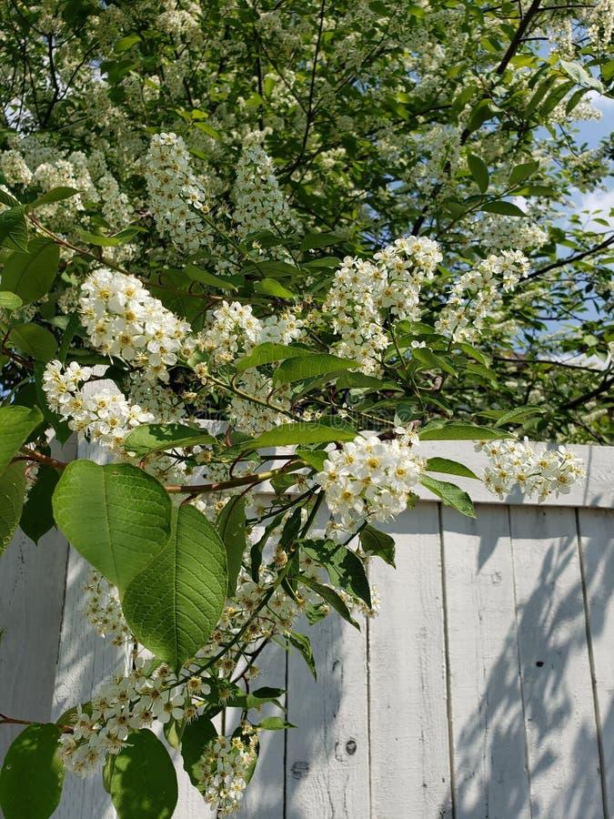 Cerezo floreciente del pájaro sobre la cerca de madera imagen de archivo libre de regalías
