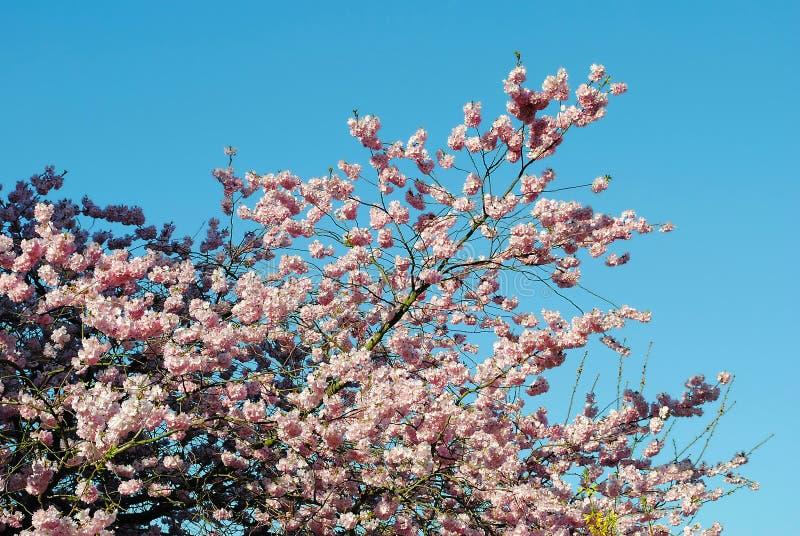 Cerezo floreciente del Prunus fotografía de archivo libre de regalías