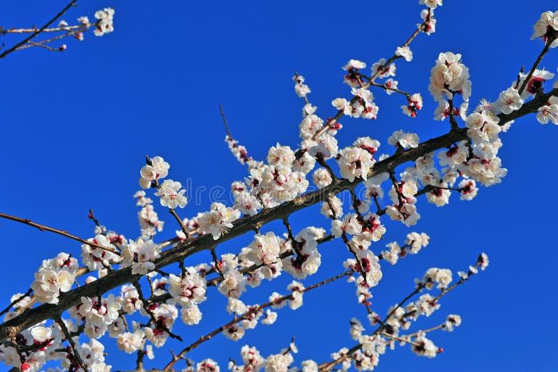 Cerezo floreciente en el fondo azul foto de archivo