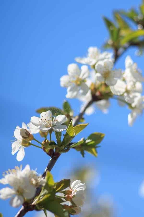 Cerezo floreciente sobre el cielo azul fotos de archivo