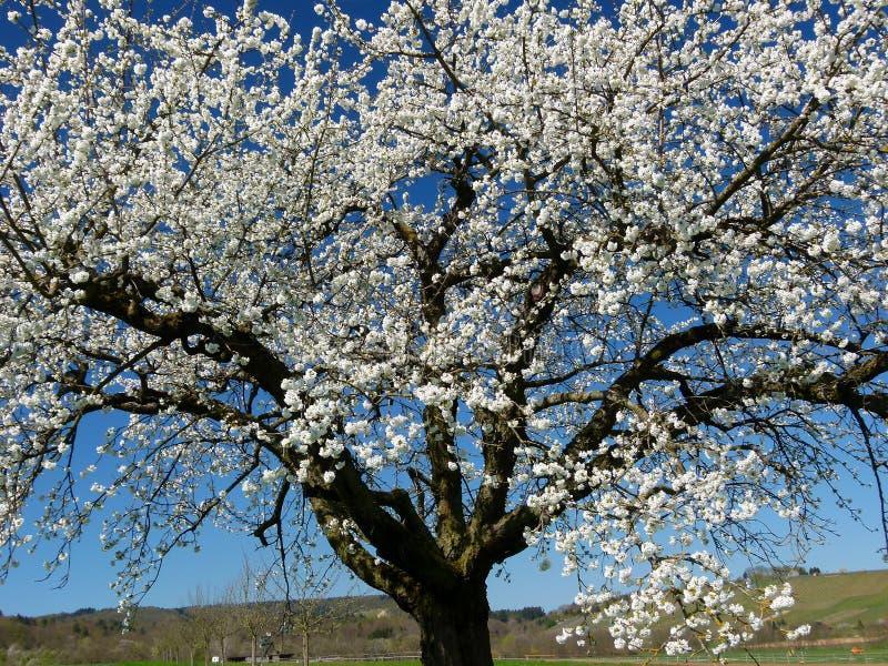 Cerezo grande en la floración delante del cielo azul y viñedos en el fondo foto de archivo libre de regalías