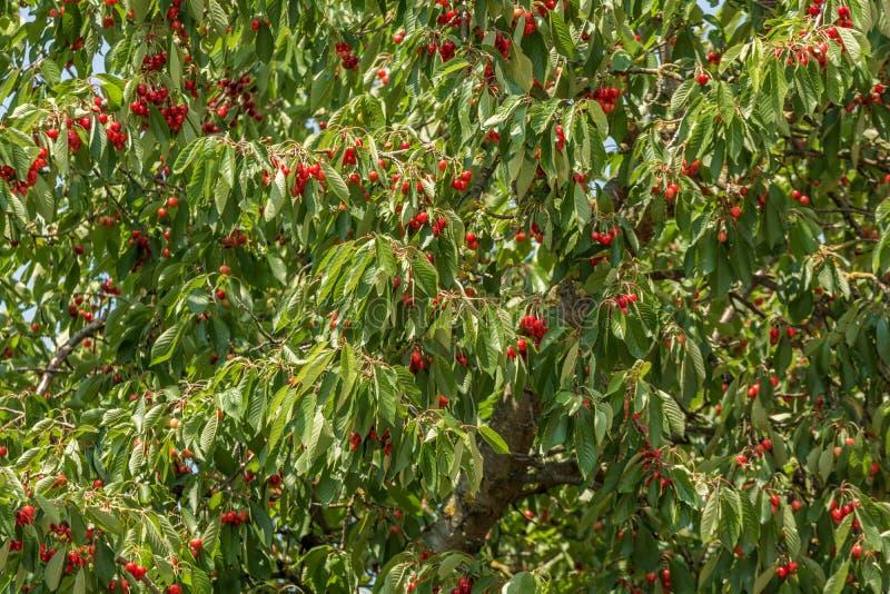 Cerezo por completo de cerezas maduras rojas imagenes de archivo