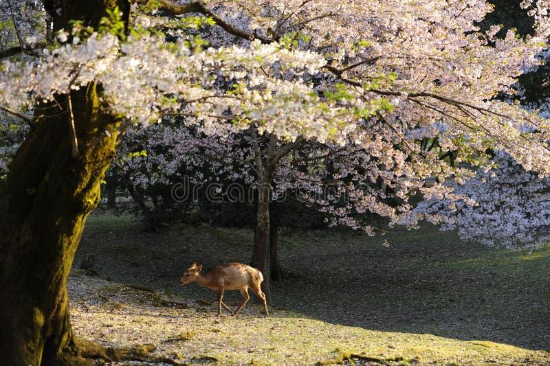 Cerezo y ciervos salvajes, Nara, Japón foto de archivo libre de regalías