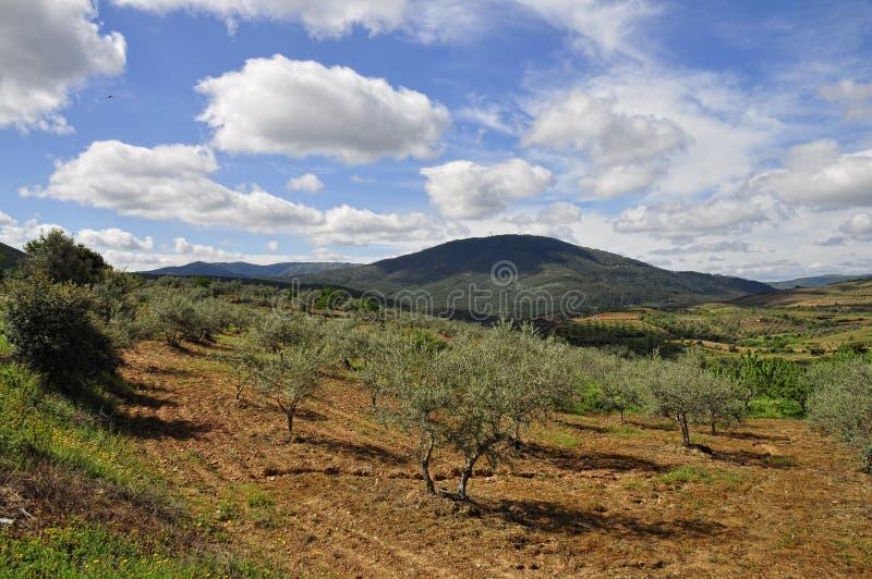 Cerezos de Campos de olivos y foto de archivo libre de regalías