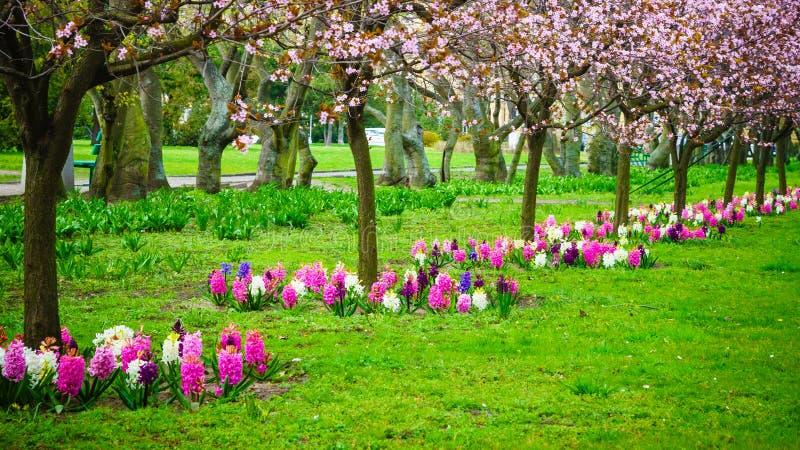 Cerezos en fila Flor de la primavera del jardín fotografía de archivo libre de regalías