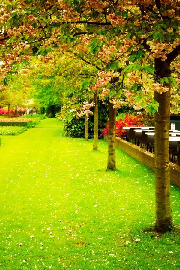 Cerezos florecientes de la primavera foto de archivo