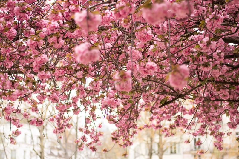 Cerezos florecientes en la primavera, fondo de la primavera fotografía de archivo