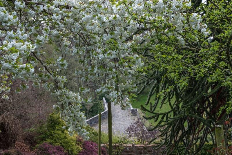 Cerezos florecientes hermosos en un parque escocés al inicio de la primavera con el puente viejo del bergantín O 'Doon imagenes de archivo
