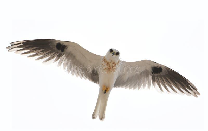 cerf-volant Blanc-coupé la queue images libres de droits