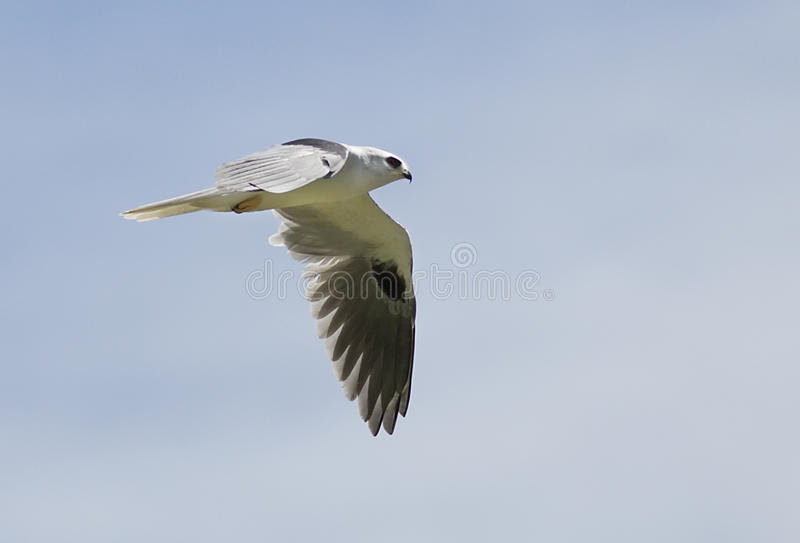 cerf-volant Blanc-coupé la queue, leucurus d'Elanus photo libre de droits