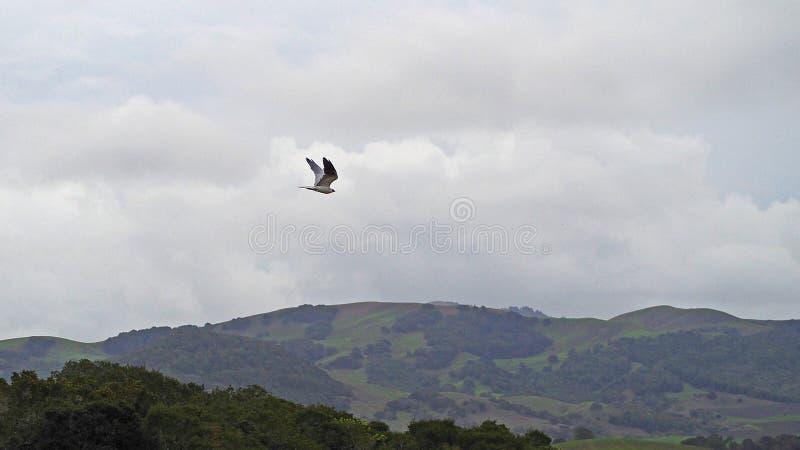 Cerf-volant coupé la queue par blanc au-dessus des collines de la Californie photographie stock libre de droits