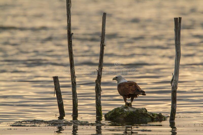 Cerf-volant de Brahminy dans la lagune de baie d'Arugam, Sri Lanka image libre de droits