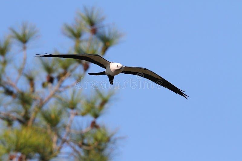 cerf-volant Hirondelle-coupé la queue image stock
