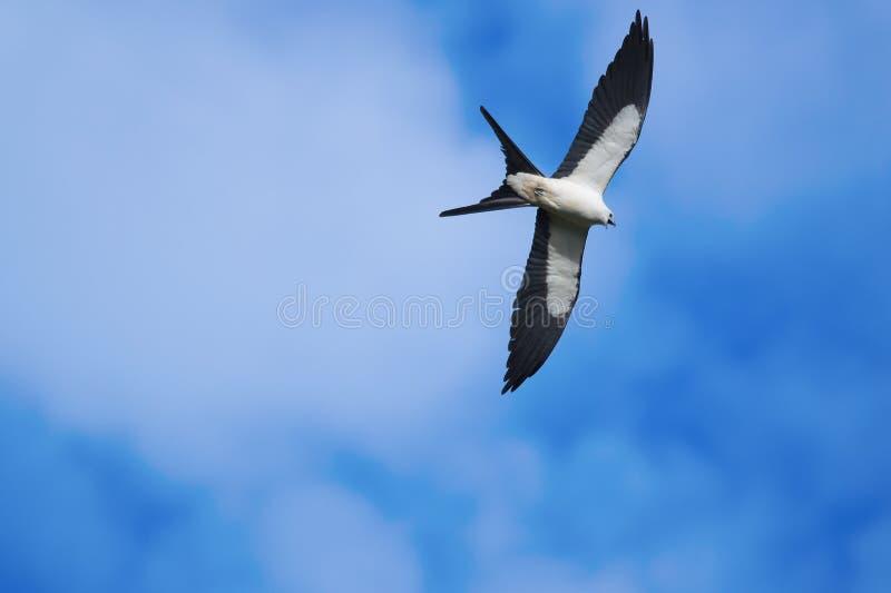 cerf-volant Hirondelle-coupé la queue (forficatus d'Elanoides) image stock