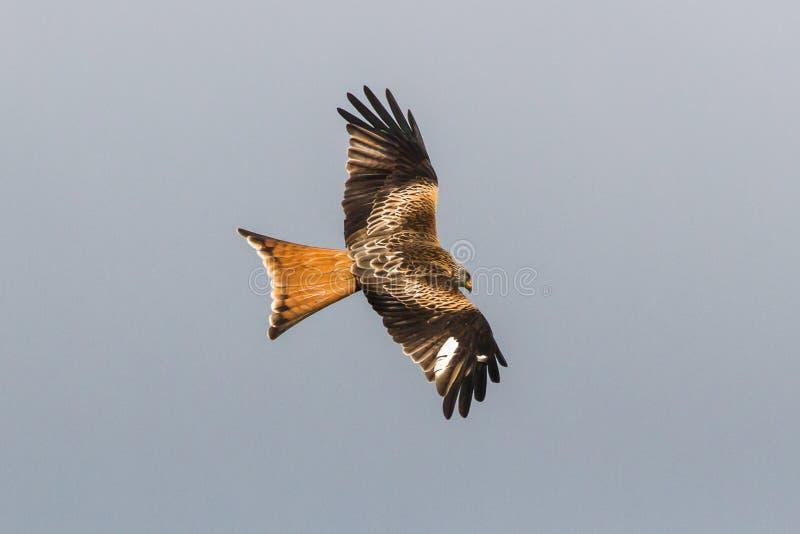 Cerf-volant rouge photos libres de droits