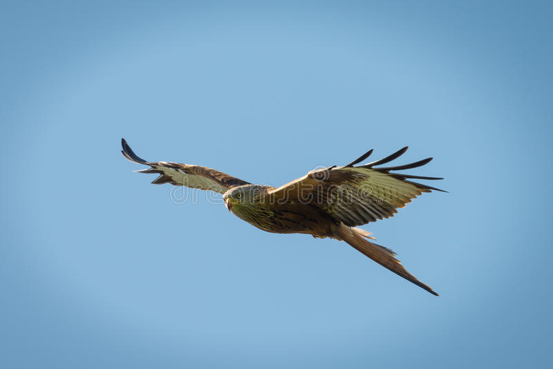 Cerf-volant rouge en vol photo stock