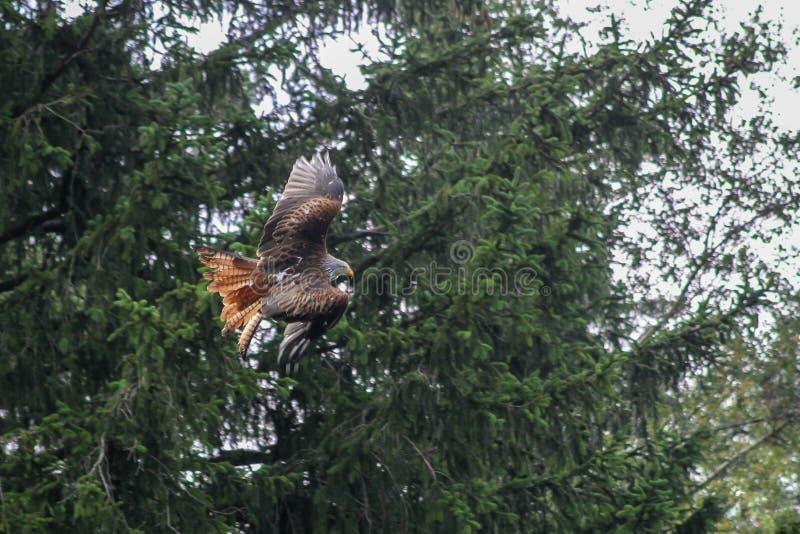 Cerf-volant rouge - milvus de Milvus, fauconnerie, Vorarlberg, Autriche photos libres de droits