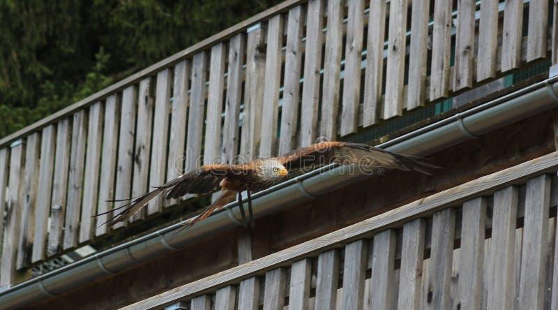 Cerf-volant rouge - milvus de Milvus, fauconnerie, Vorarlberg, Autriche images libres de droits