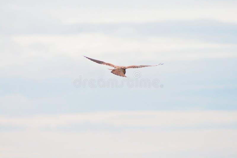 Cerf-volant rouge planant dans le ciel photos libres de droits