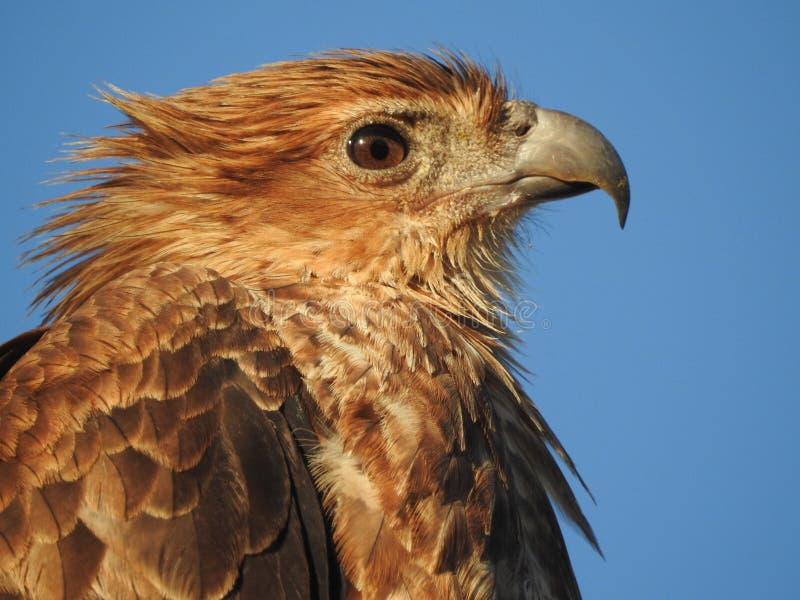 Cerf-volant siffleur images libres de droits