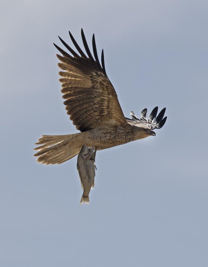 Cerf-volant siffleur avec des poissons image stock
